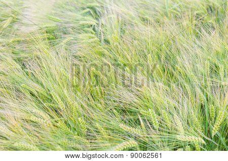 Green Barley Closeup
