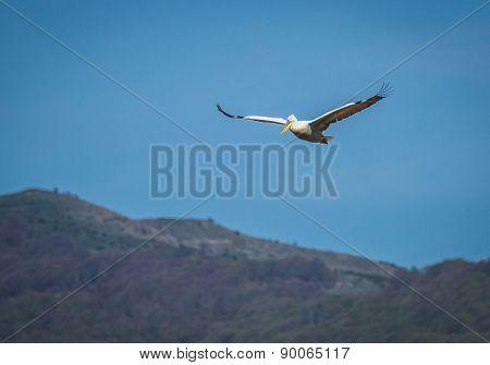 Dalmatian Pelican On Lake Prespa, Greece