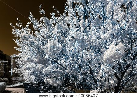 Chery Tree Blossom, Flowers And Sun, Infrared