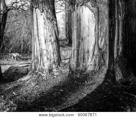 Forest Tree Trunks In Sunlight