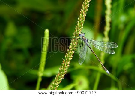 Dragonfly On A Grass