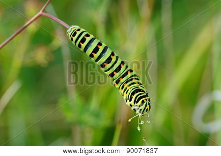Colored Caterpillar