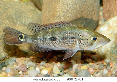 Petenia Fish