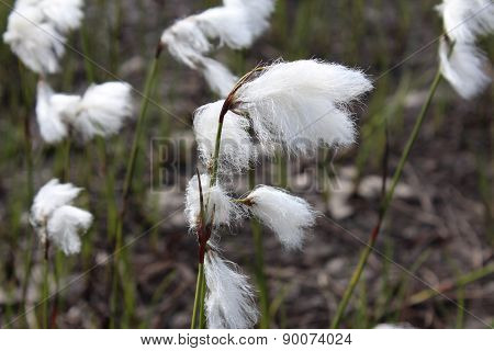 Eriophorum angustifolium, Cyperacea is a plant on the Norwegian mountain.