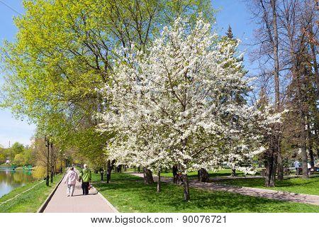 Blooming Apple Tree In Catherine Park