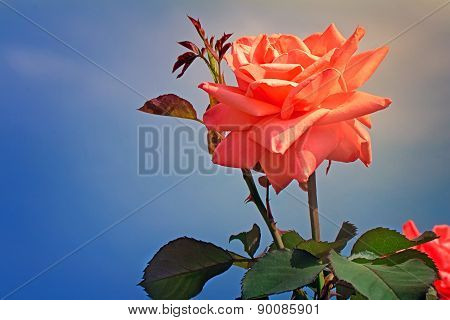 Beautiful Blossoming Rose Against The Blue Sky.