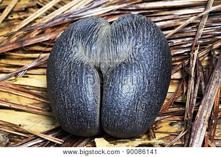 Double nut Coco de mer.