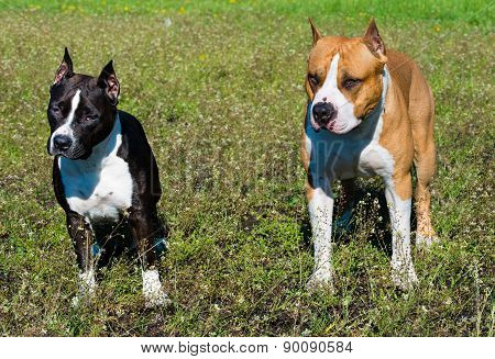 American Staffordshire Terriers black and brown.