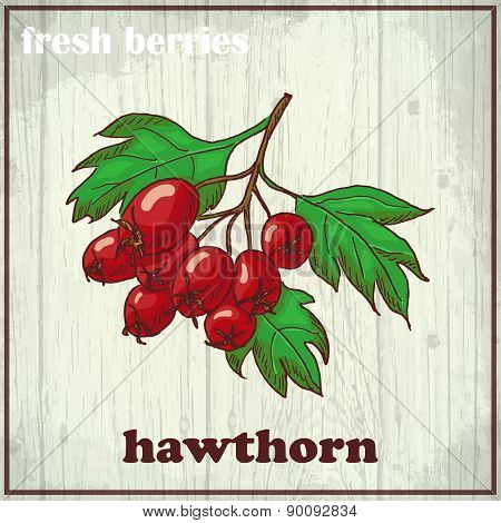 Hand drawing illustration of hawthorn. Fresh berries sketch background
