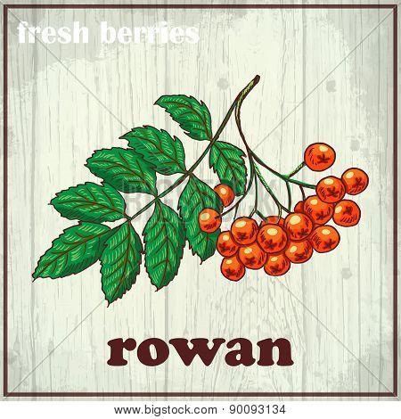 Hand drawing illustration of rowan. Fresh berries sketch background
