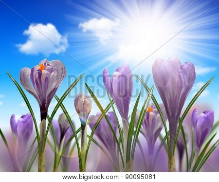 Spring flowers Crocus with sunny sky