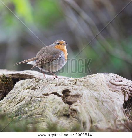 European Robin bird in forest