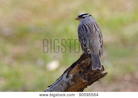 White-crowned Sparrow Perched On A Dead Branch