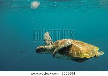 Turtle in ocean
