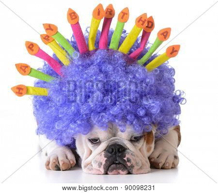 birthday dog - bulldog wearing clown wig and birthday hat on white background