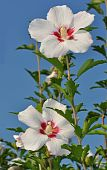 stock photo of rose sharon  - early morning rose of sharon against blue sky - JPG