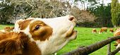 stock photo of hereford  - Cw closeup reaching over wooden fence rail - JPG