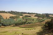 pic of ethiopia  - livestock and potato field in mountains of Ethiopia - JPG