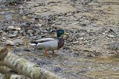 image of male mallard  - Male mallard duck walking across the bottom of a stream - JPG