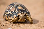 picture of tortoise  - Leopard tortoise walking slowly on sand with his protective shell - JPG