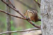 picture of chipmunks  - eastern chipmunk sitting on branch in rain - JPG
