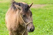 pic of pony  - closeup of pony in a greein field in Jeju Island Korea - JPG