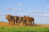 image of mule  - A team of mules pull a soil roller and a spring - JPG