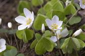 picture of sorrel  - Wood Sorrel  - JPG