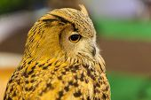 stock photo of eagles  - European Eagle owl or Eurasian eagle owl watching closeup - JPG