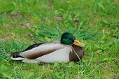 picture of male mallard  - Adult male mallard wild duck or Anas platyrhynchos is resting on green grass - JPG