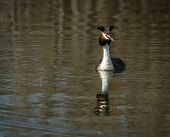 foto of grebe  - Image of Great Crested Grebe on Lake Prespa Greece - JPG