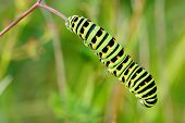 picture of caterpillar  - Colored caterpillar on a plant stem with blurred background - JPG