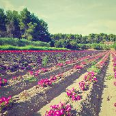picture of farmhouse  - Flower Beds at the Farmhouse in France in the Autumn Retro Effect - JPG