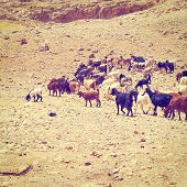 foto of samaria  - Herd of Goats Grazing in the Mountains of Samaria Retro Effect - JPG