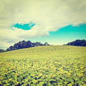 foto of french culture  - Sunflower Plantation in the French Alps Retro Effect - JPG