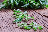 foto of basil leaves  - Close up Sweet basil leaf from Thailand - JPG