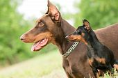 picture of miniature pinscher  - Close-up portrait of large and miniature purebred brown Doberman pinscher outdoors