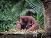 stock photo of orangutan  - Little orangutan hugging his mom with jungle as a background  - JPG