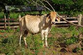 picture of zebu  - Zebu in a farm of Nicaragua - JPG