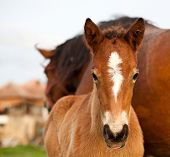 picture of mare foal  - mare and her foal - JPG