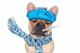 image of high fever  - french bulldog dog with headache and hangover with ice bag or ice pack on headthermometer in mouth with high fever eyes closed suffering isolated on white background - JPG