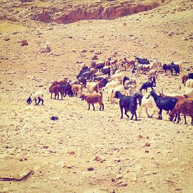 picture of samaria  - Herd of Goats Grazing in the Mountains of Samaria Retro Effect - JPG