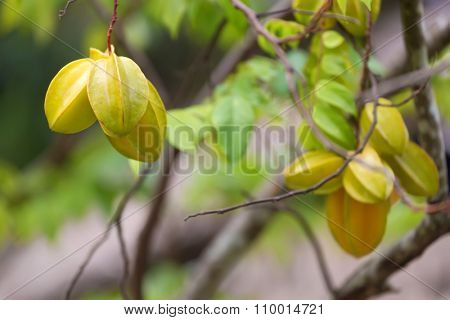 Carambola fruits growing on the tree in a tropical orchard.