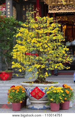Hoa Mai tree (Ochna Integerrima) blooming in the courtyard of  a pagoda for traditional lunar new year in Vietnam.
