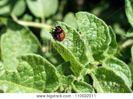 Larva Of The Colorado Potato Beetle