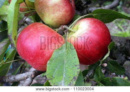 Apple (Malus domestica) 'Scrumtious'