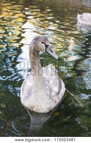 Gray Swan