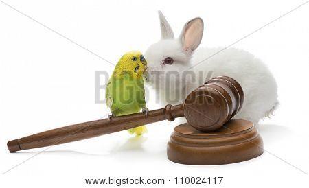 Budgerigar bird on judge gavel with white rabbit isolated on white background.