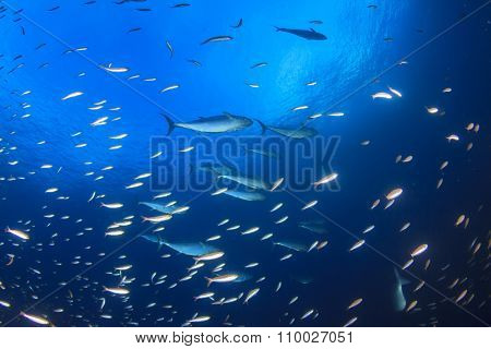 Sardines and Tuna fish in blue ocean