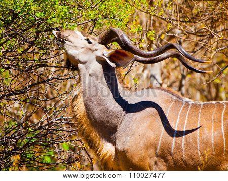 Hungry kudu antelope
